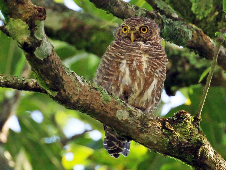 Asian Barred Owlet - Tommy Pedersen