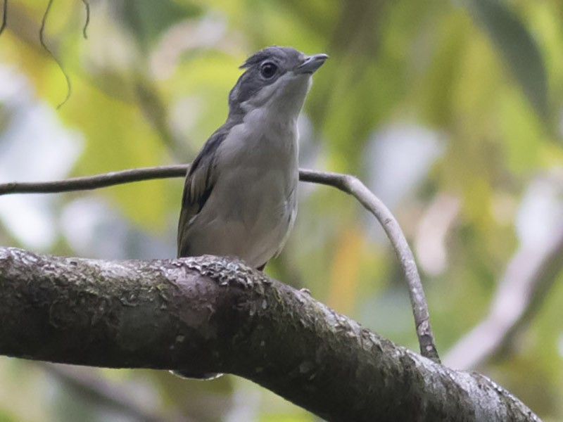 Blyth's Shrike-Babbler - Michael Todd