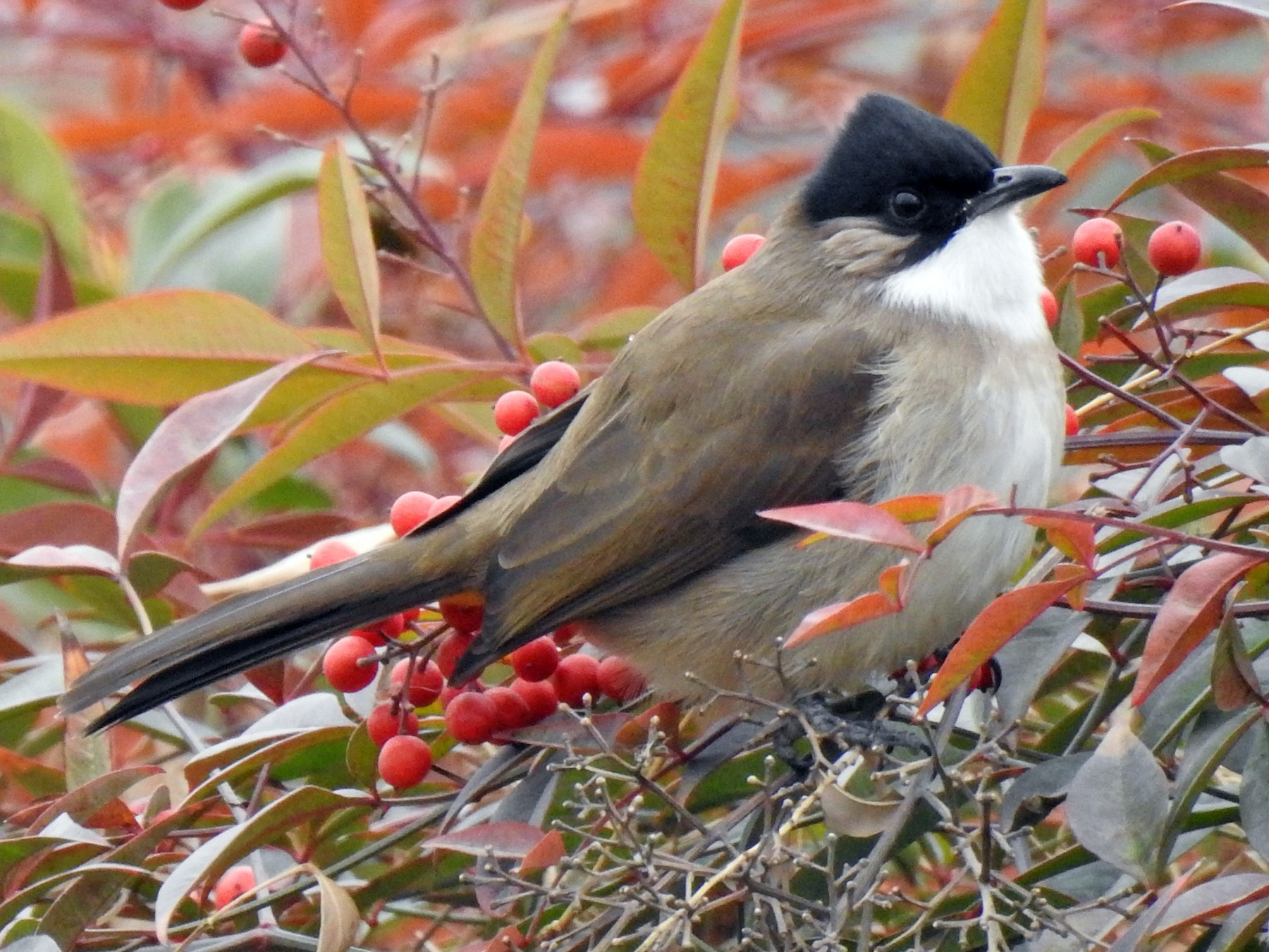 Brown-breasted Bulbul - Scott Young