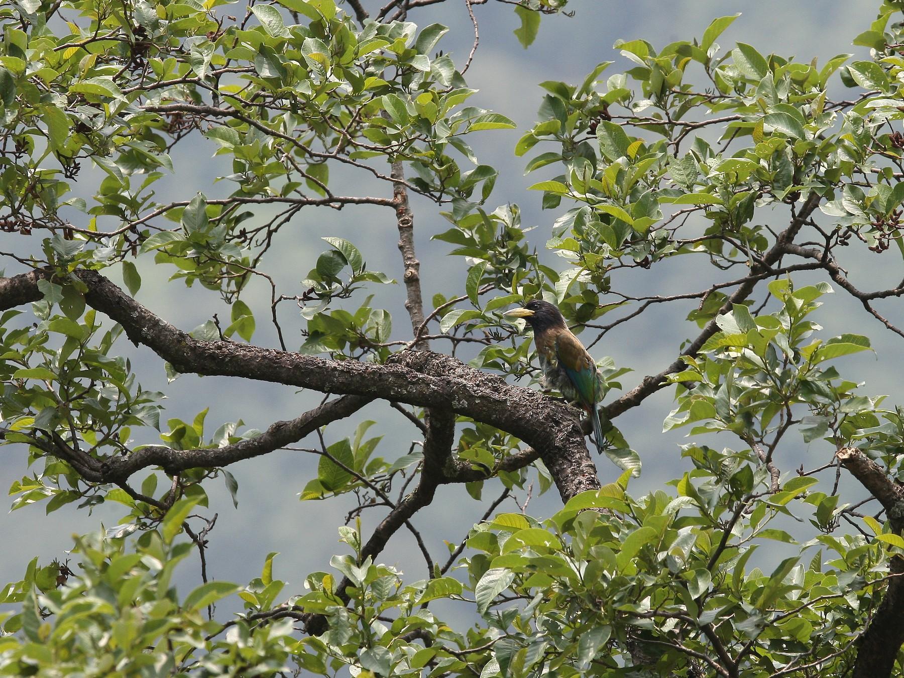 Great Barbet - Sathyan Meppayur