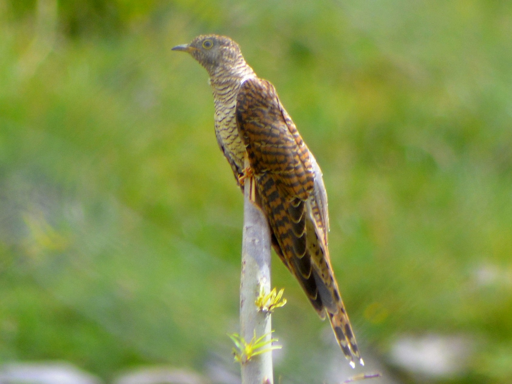 Himalayan Cuckoo - Harshavardhan Jamakhandi
