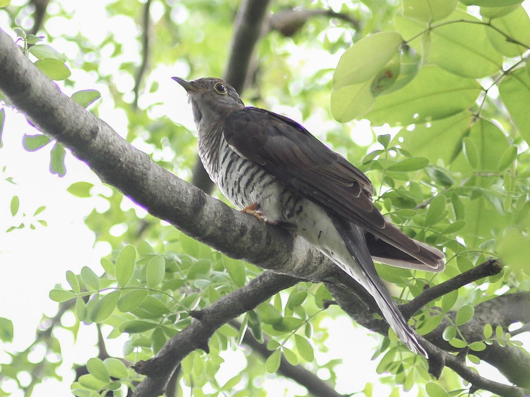 Himalayan Cuckoo - Krit Adirek