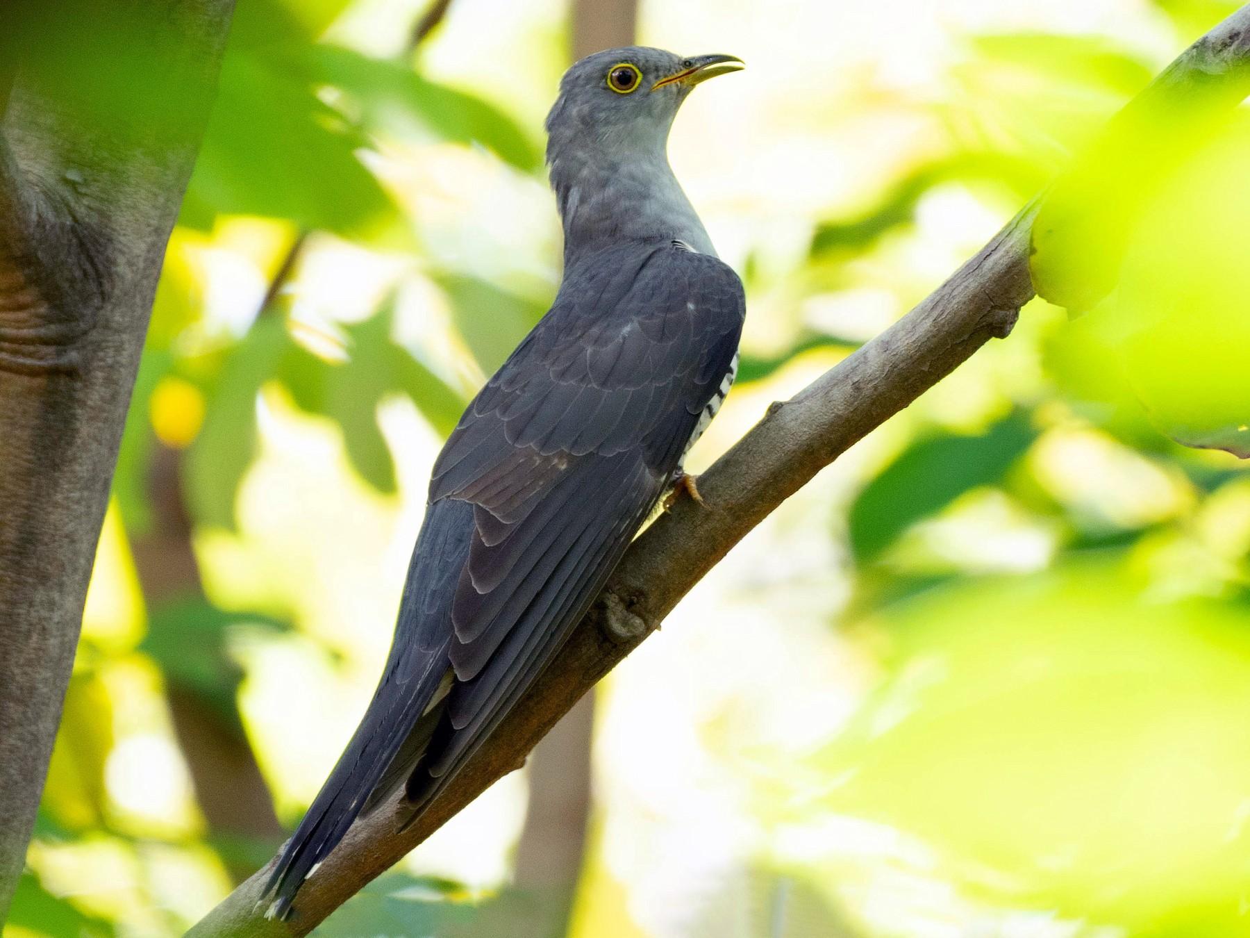 Himalayan Cuckoo - Andaman Kaosung