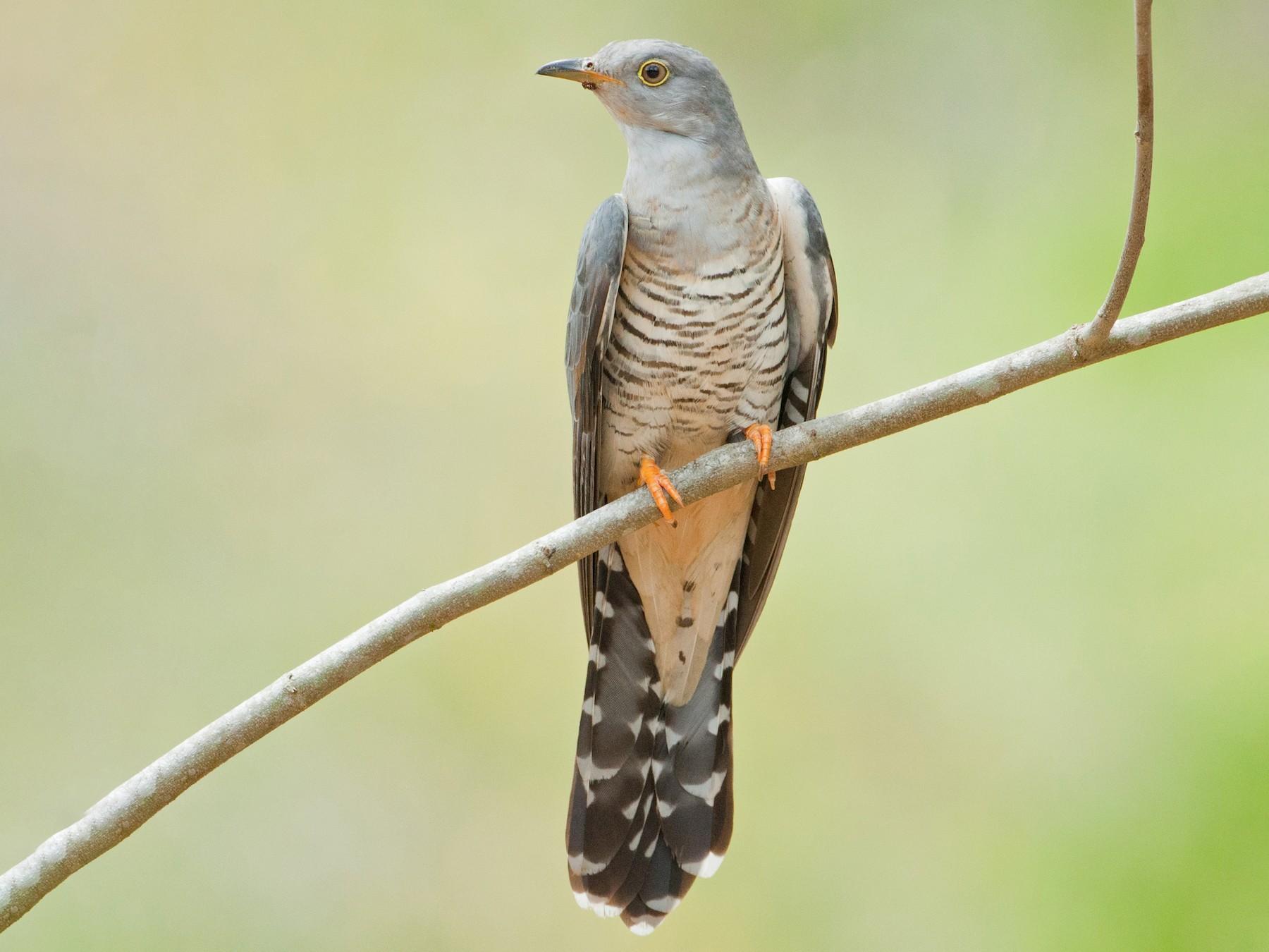 Himalayan Cuckoo - Wolfe R