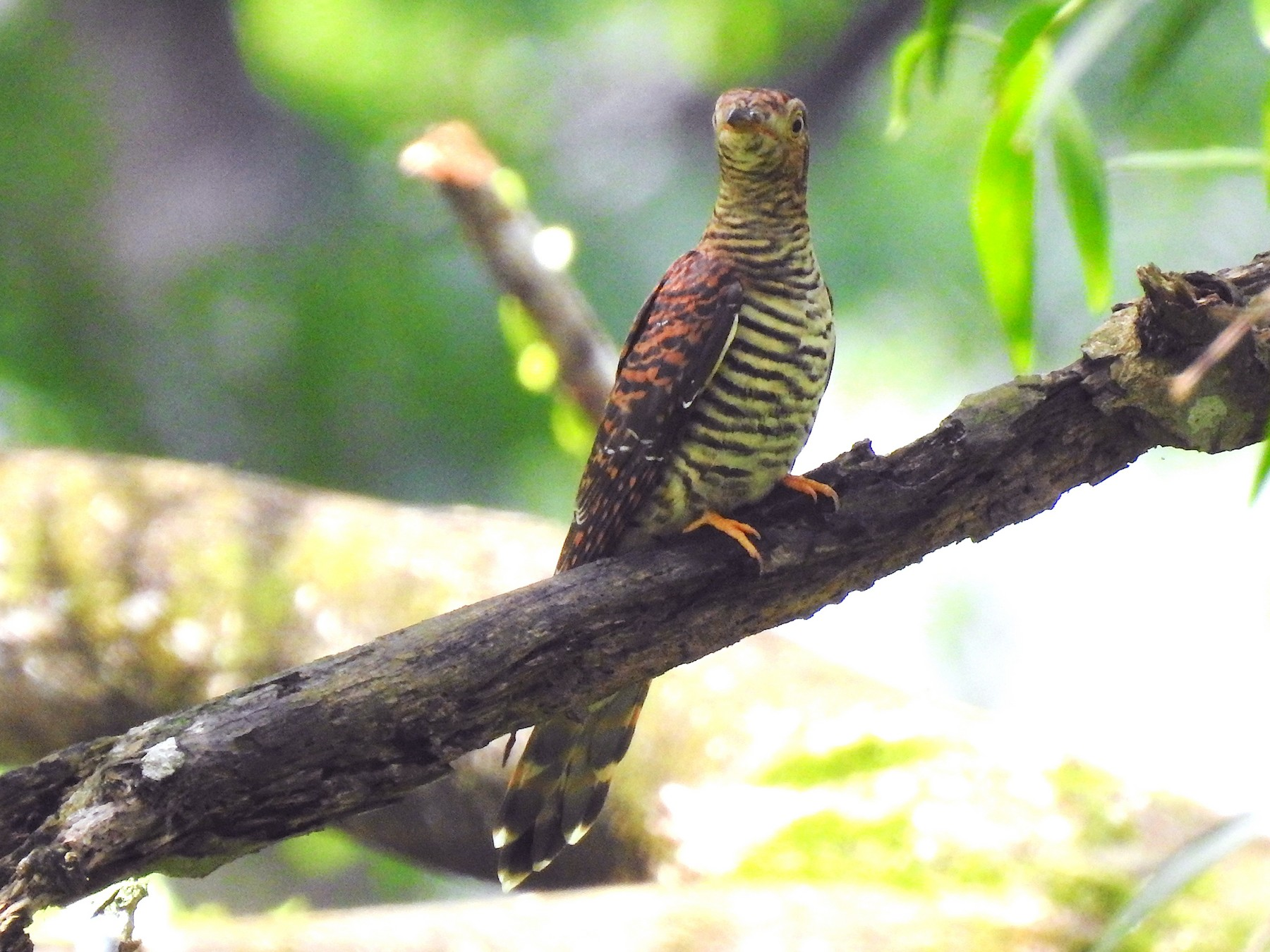 Himalayan Cuckoo - Fangqi Twang