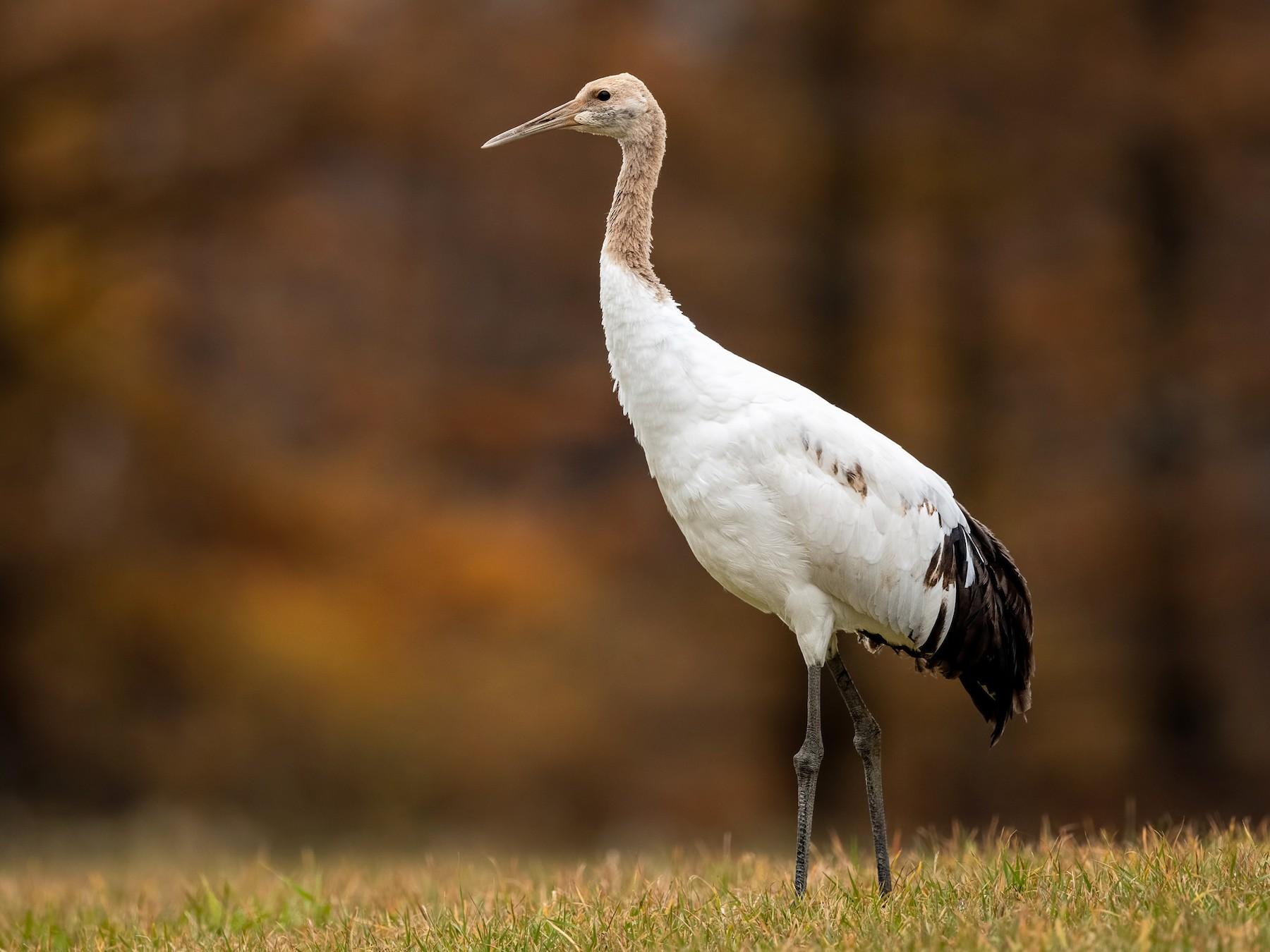 Red-crowned Crane - Daniel Grossi