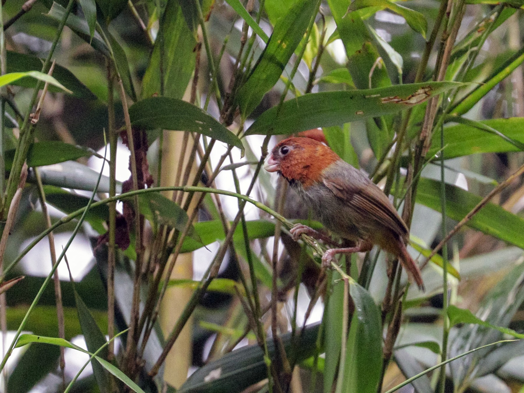 Short-tailed Parrotbill - Tommy Pedersen