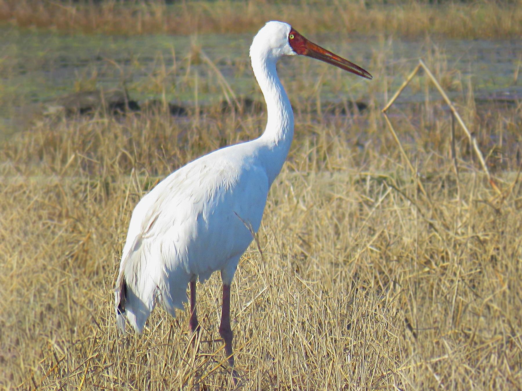 Siberian Crane - Malihe Rajabi