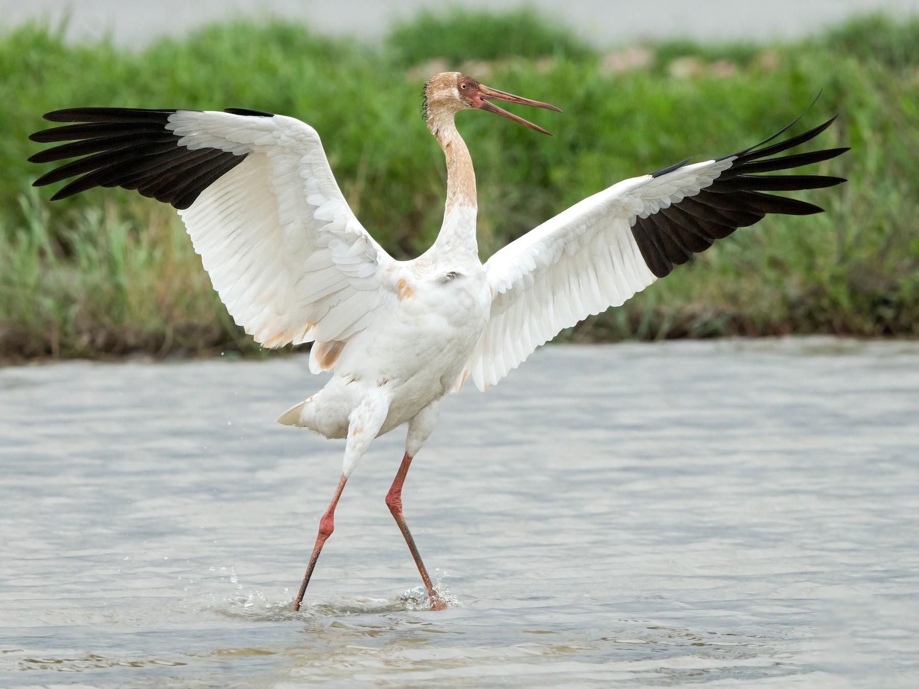 Siberian Crane - David Irving