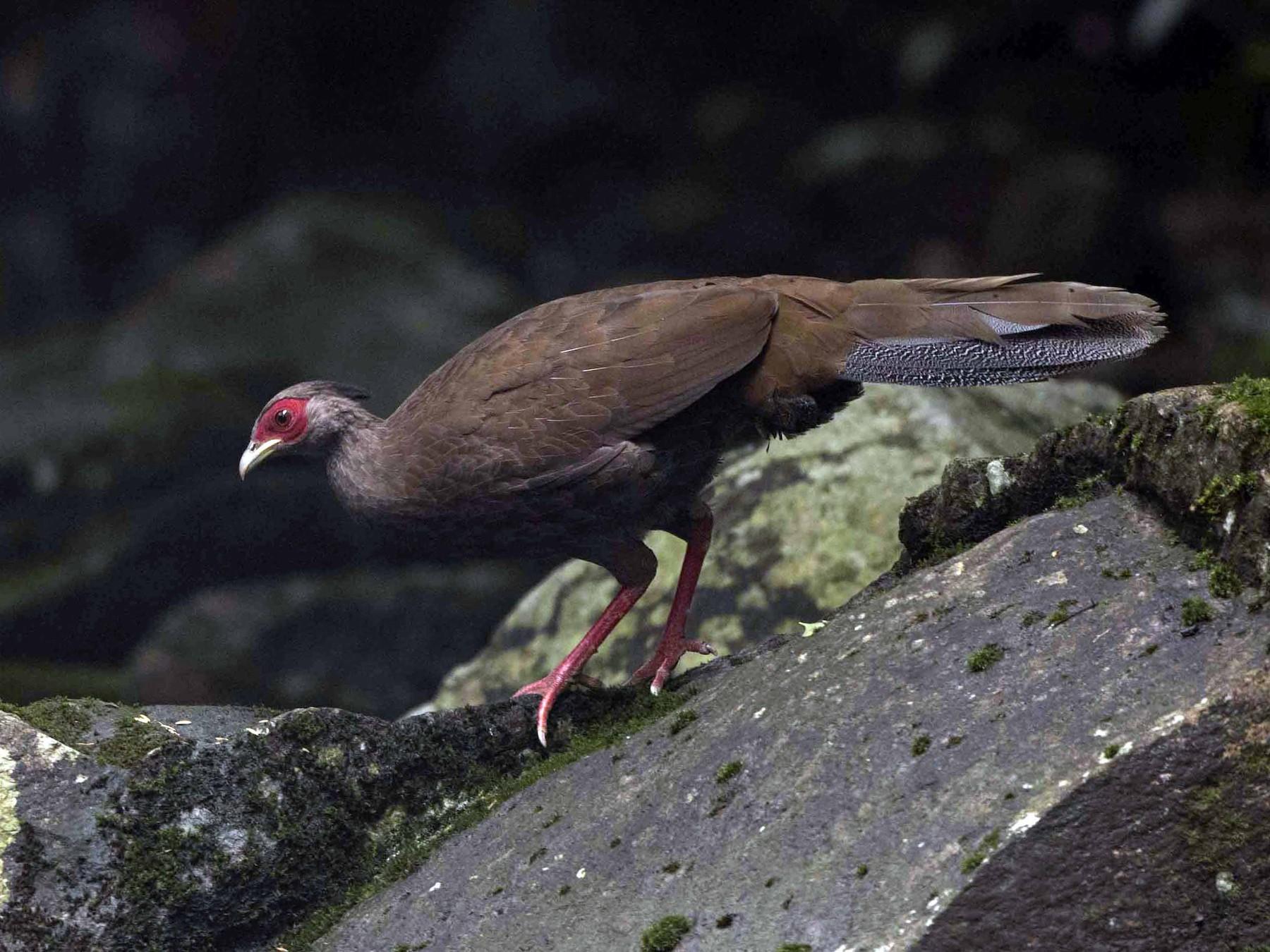 Silver Pheasant - jimmy Yao