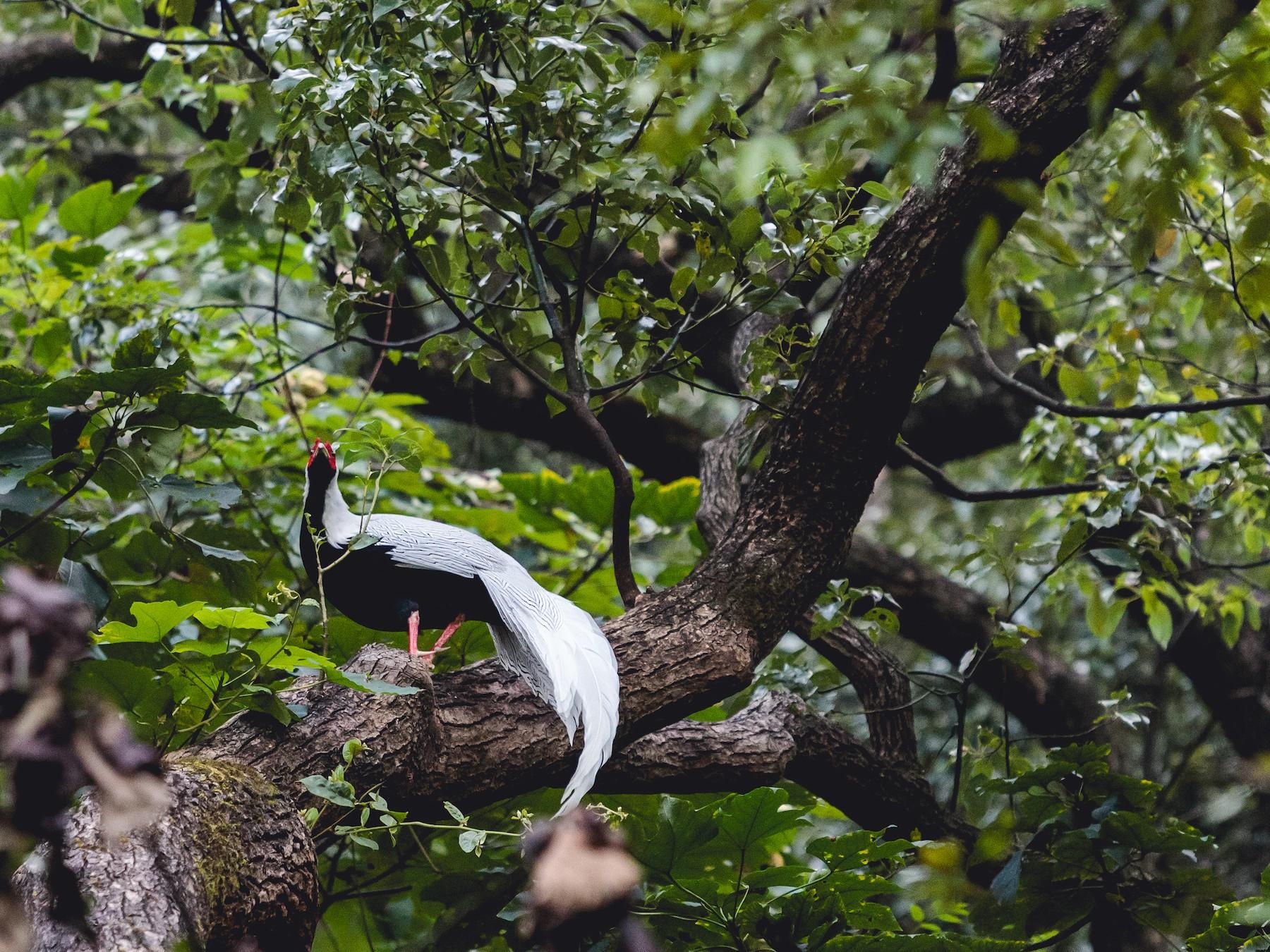 Silver Pheasant - Maojin Lang