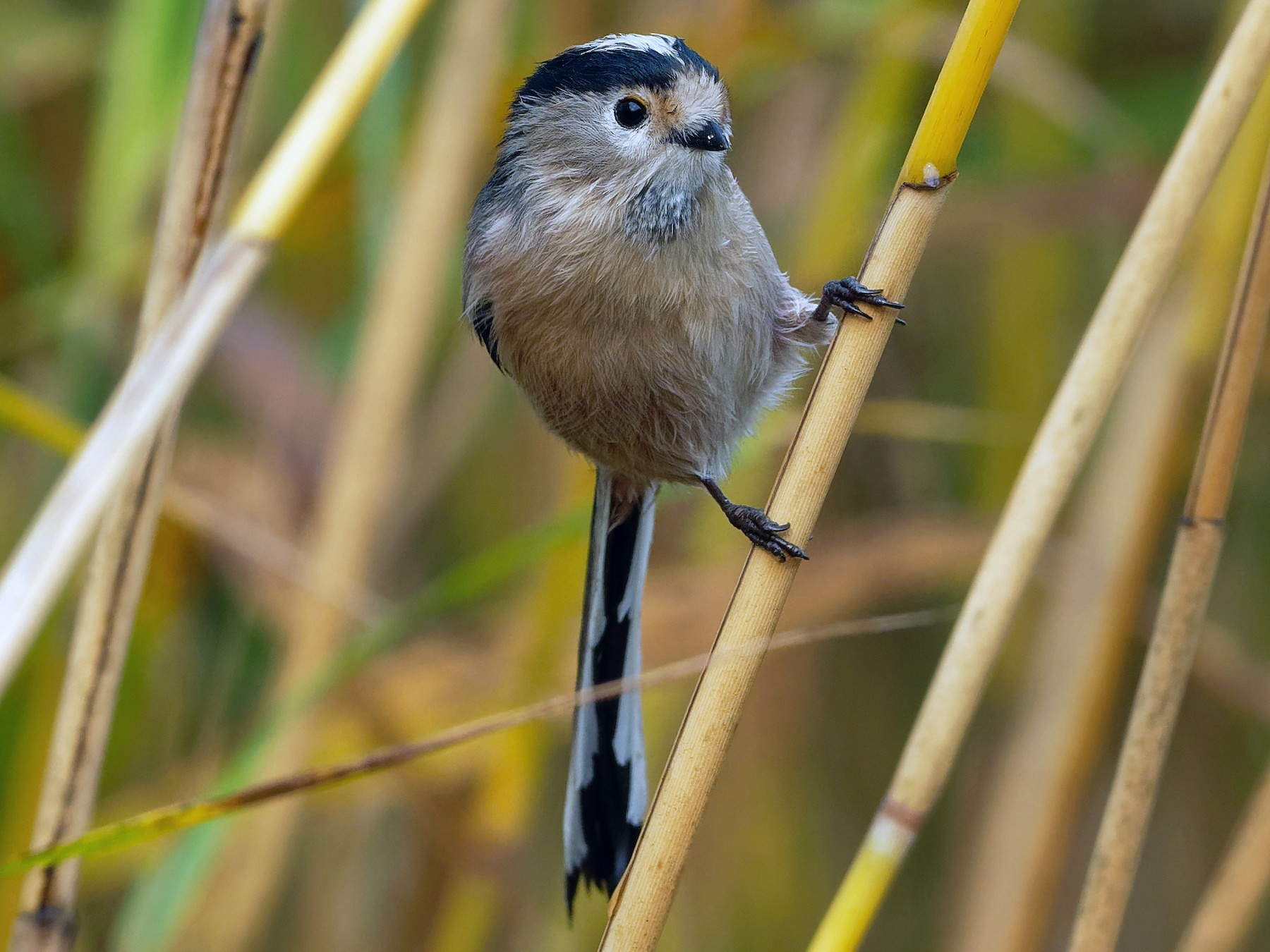 Silver-throated Tit - Vincent Wang
