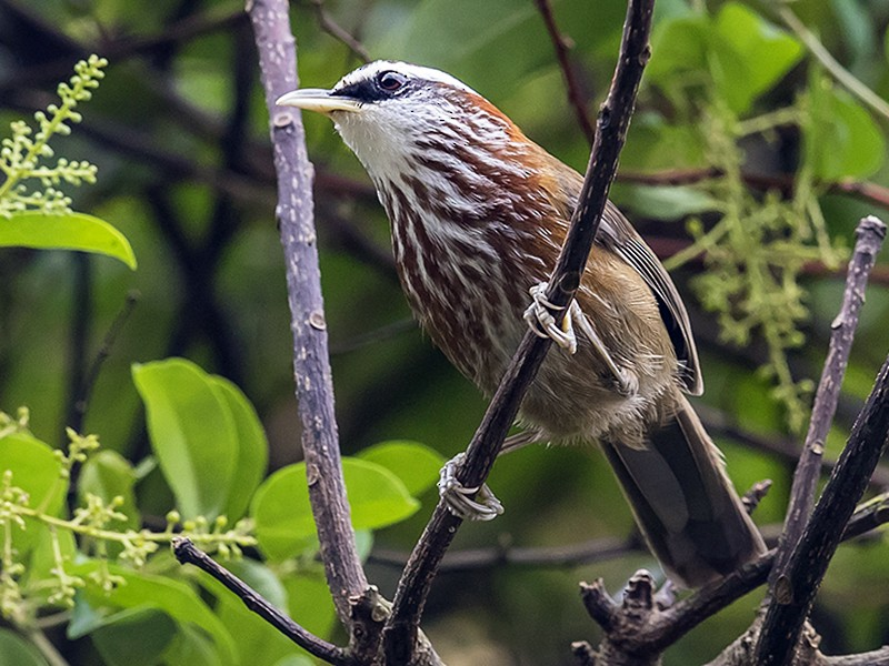 Streak-breasted Scimitar-Babbler - Matthew Kwan