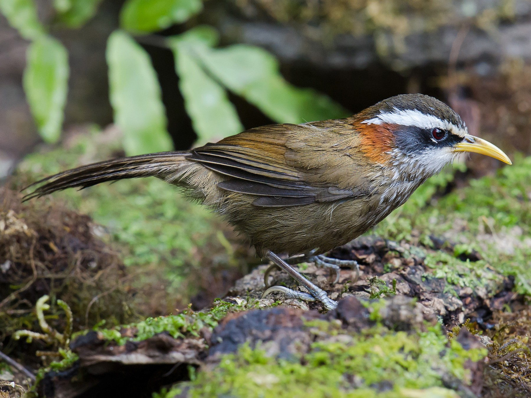 Streak-breasted Scimitar-Babbler - Craig Brelsford
