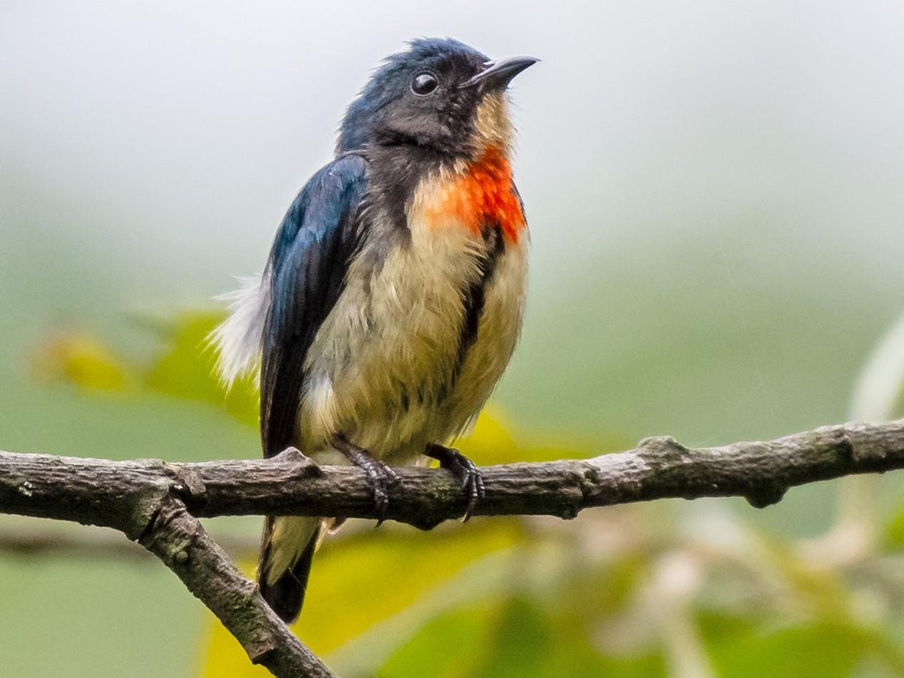 Fire-breasted Flowerpecker - Balaji P B