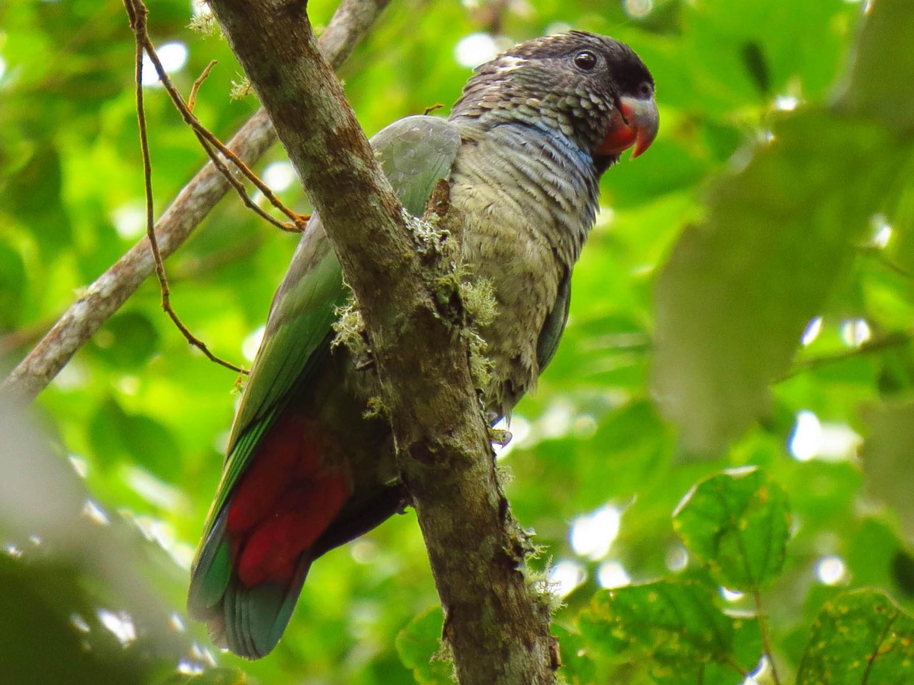 Red-billed Parrot - Jorge Muñoz García   CAQUETA BIRDING