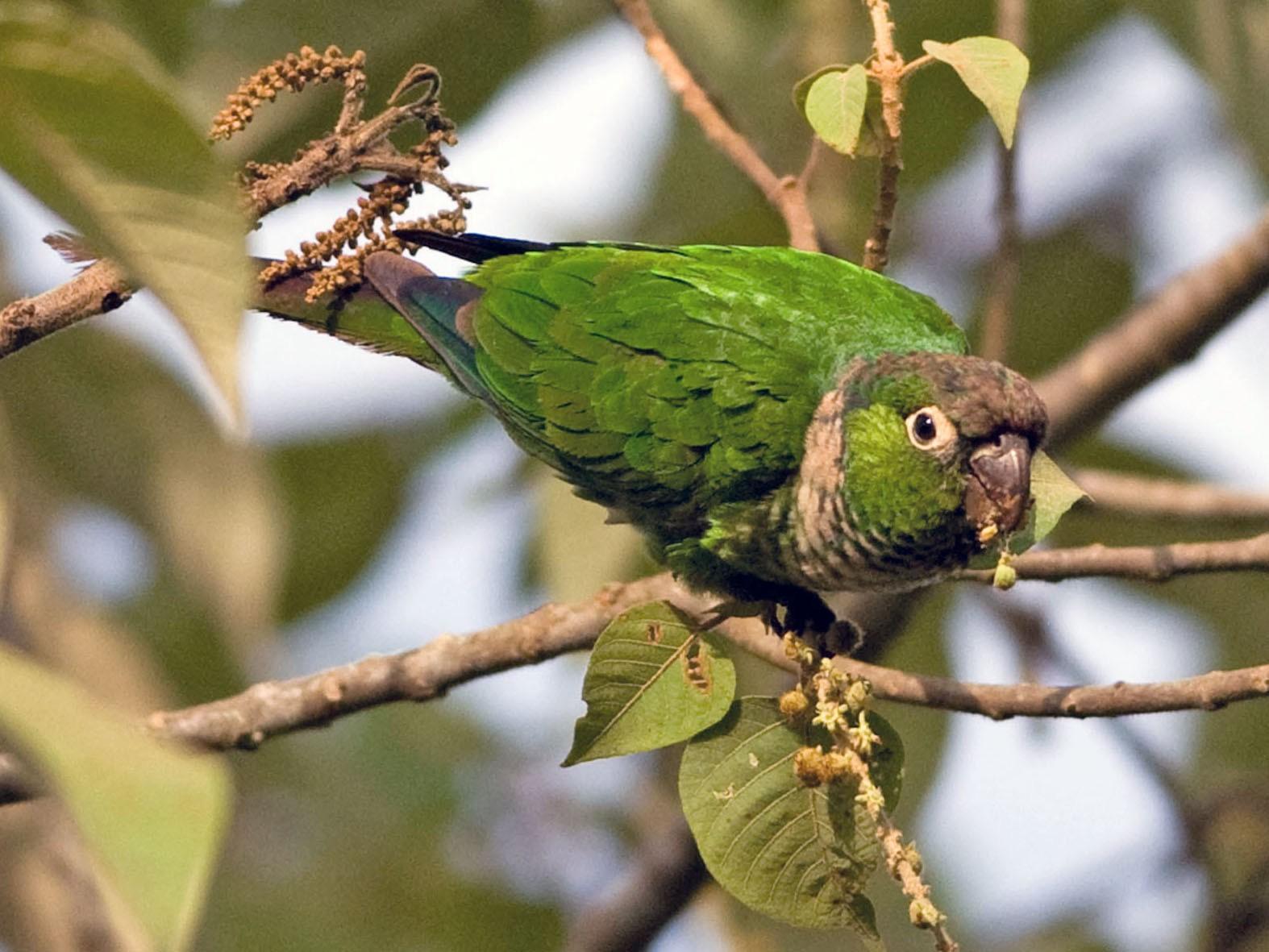 Maroon-tailed Parakeet - Robert Dobbs