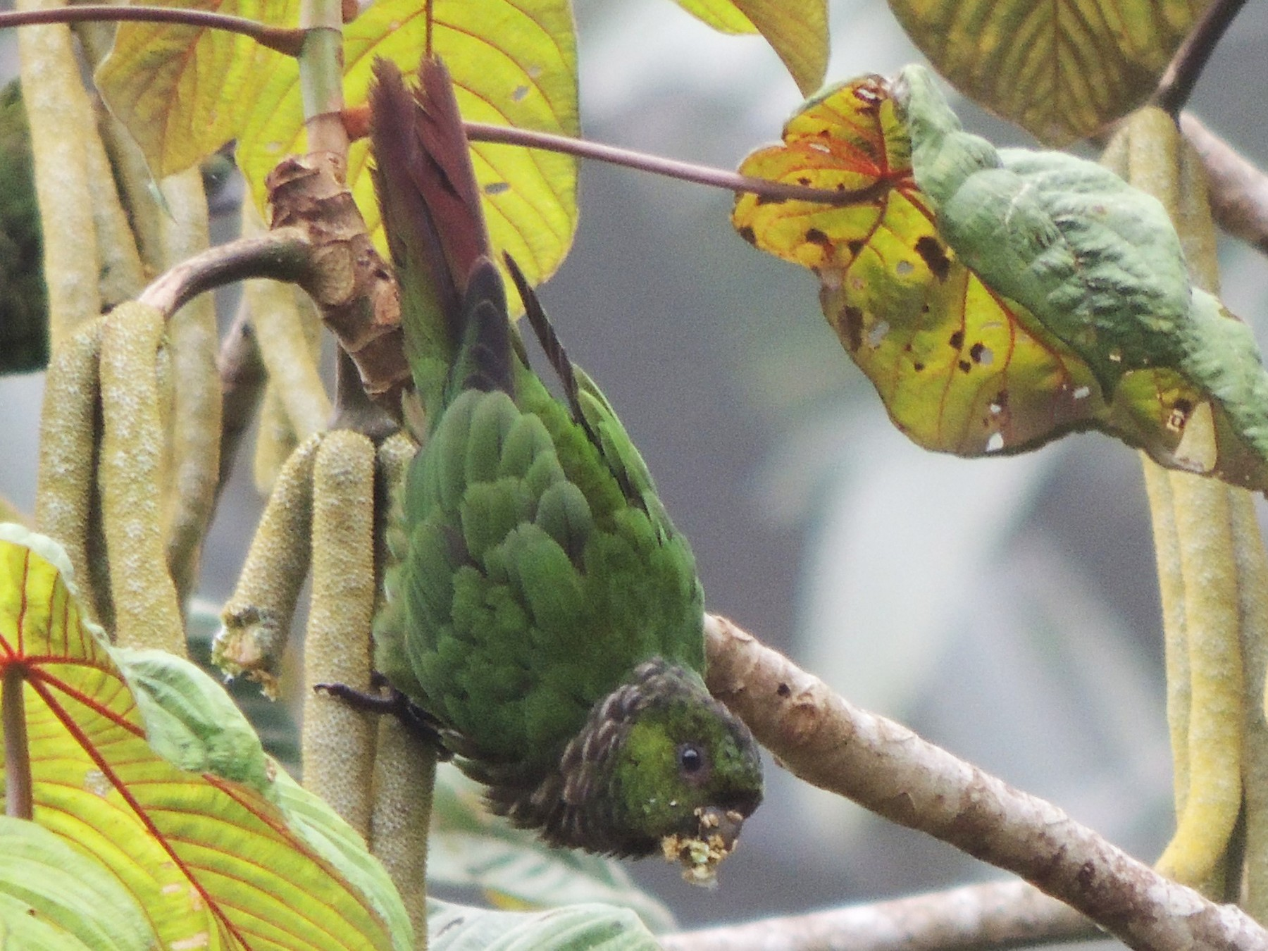 Maroon-tailed Parakeet - Ottavio Janni