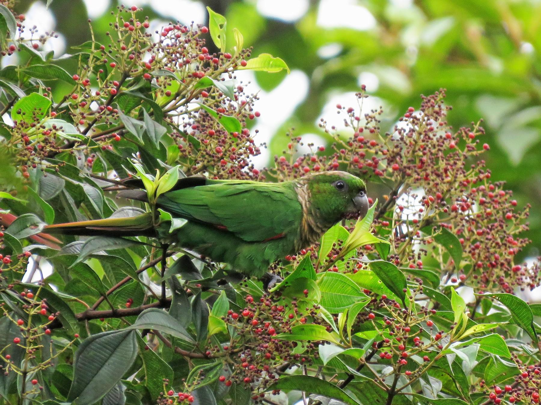 Maroon-tailed Parakeet - Iván Lau