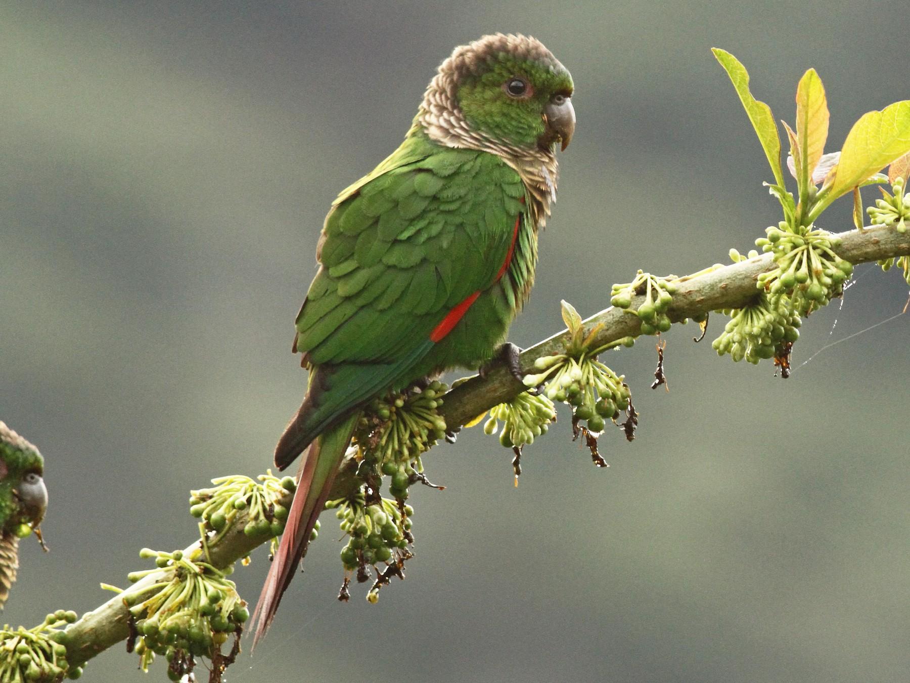 Maroon-tailed Parakeet - Luke Seitz
