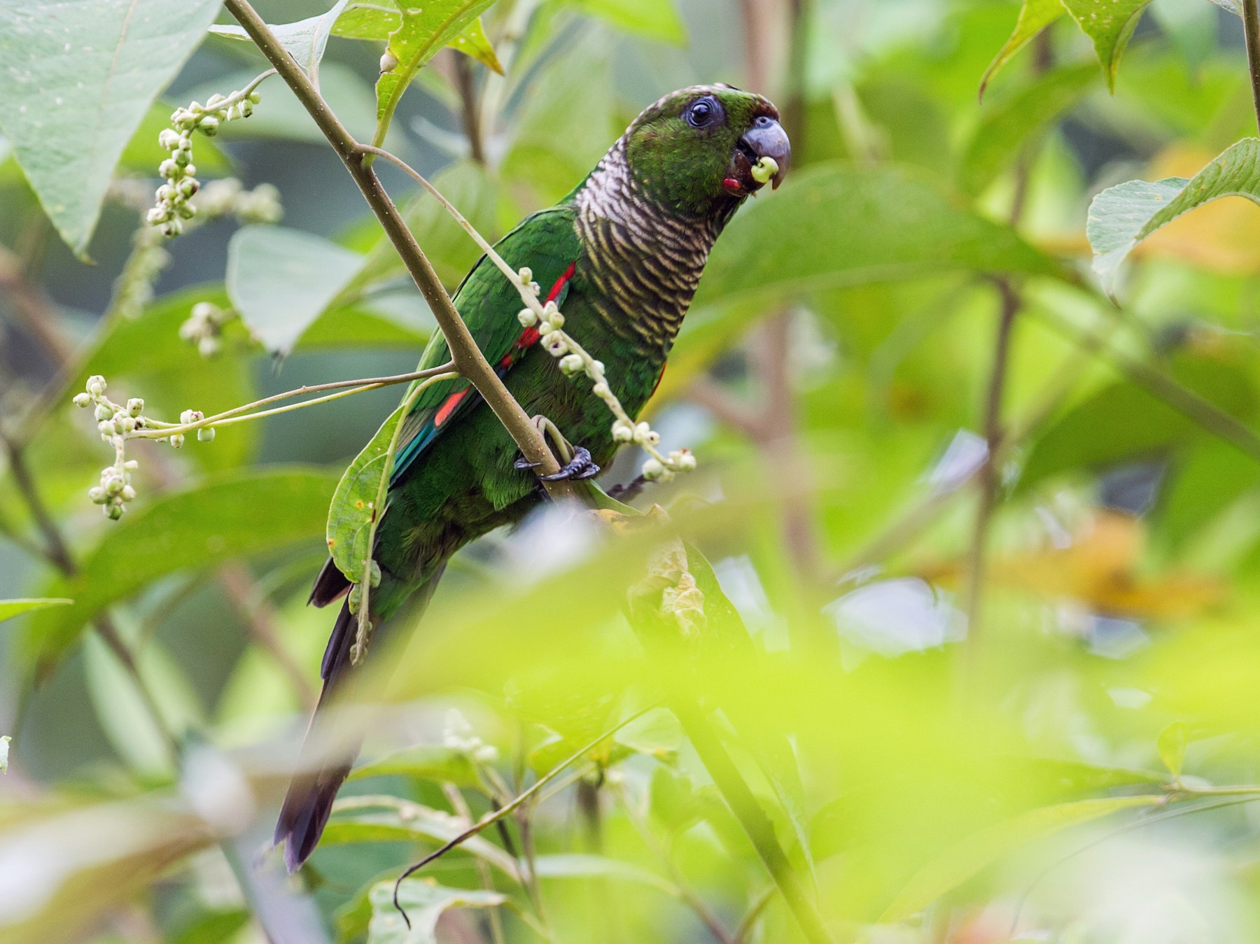 Maroon-tailed Parakeet - Nick Athanas