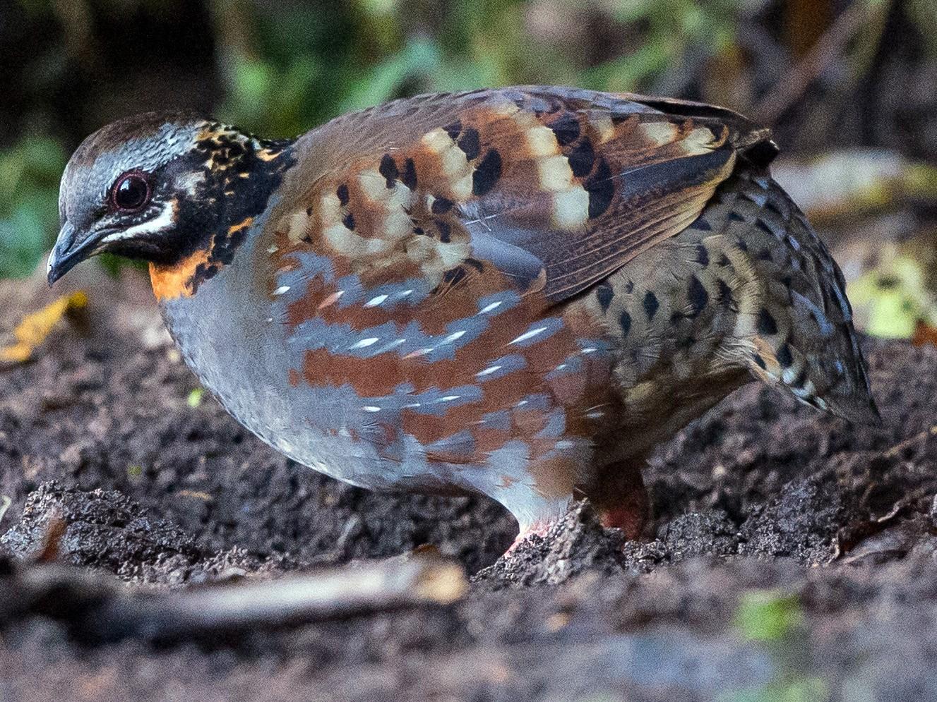 Rufous-throated Partridge - jimmy Yao