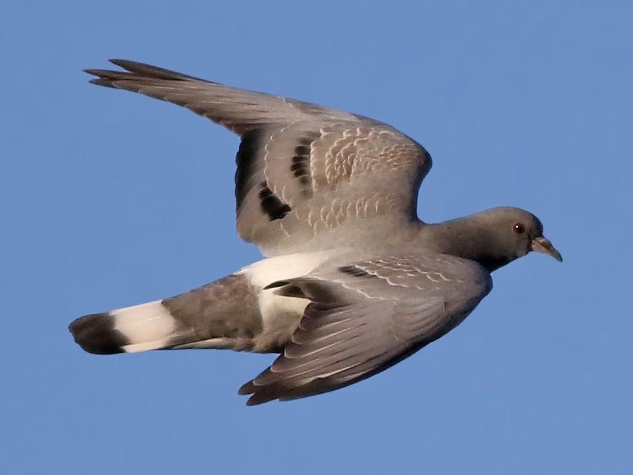 Hill Pigeon - Jeremiah Trimble