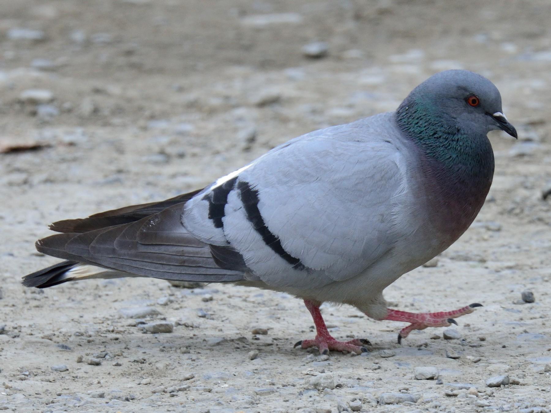 Hill Pigeon - Snehasis Sinha