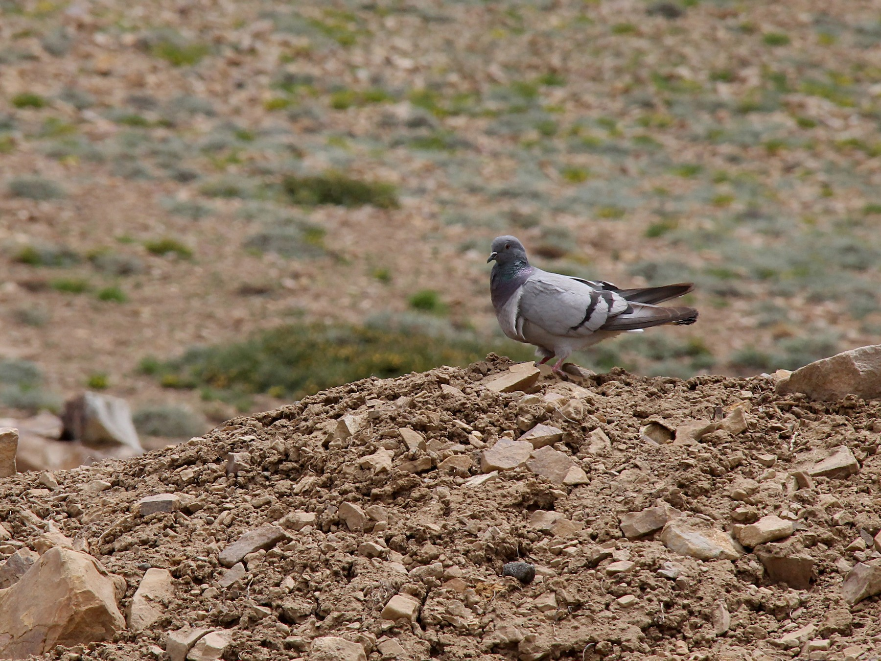 Hill Pigeon - Ramit Singal