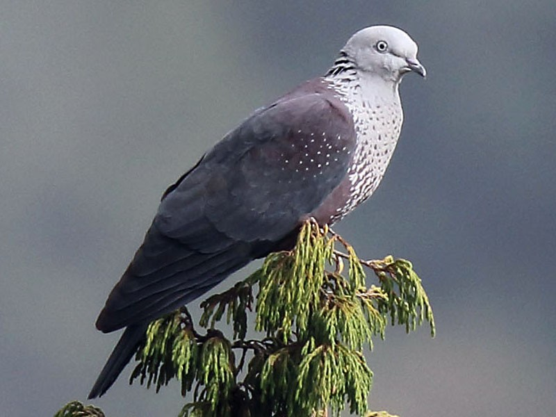Speckled Wood-Pigeon - Myles McNally