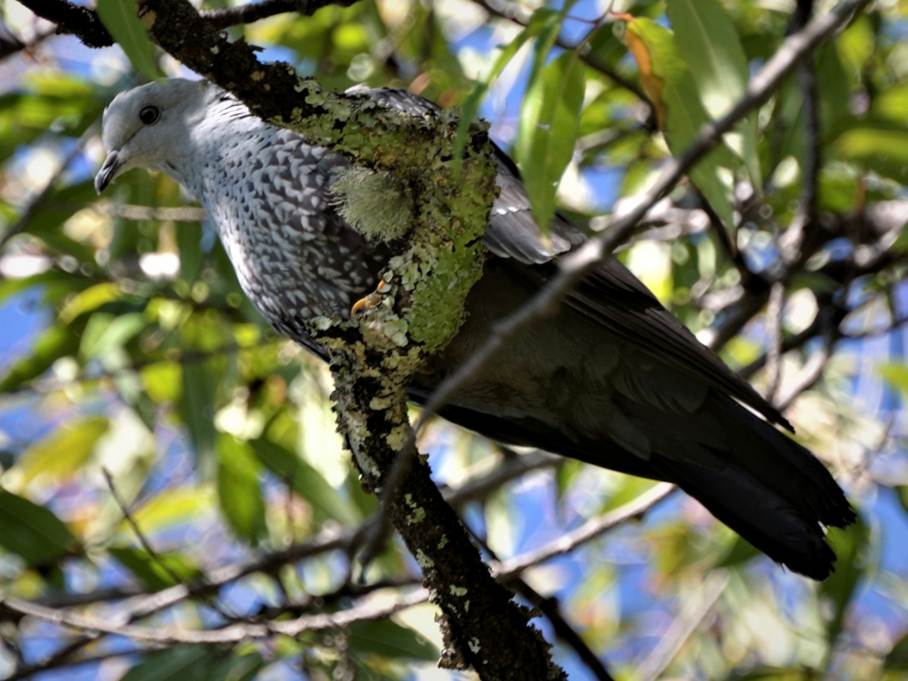 Speckled Wood-Pigeon - Hathan Chaudhary