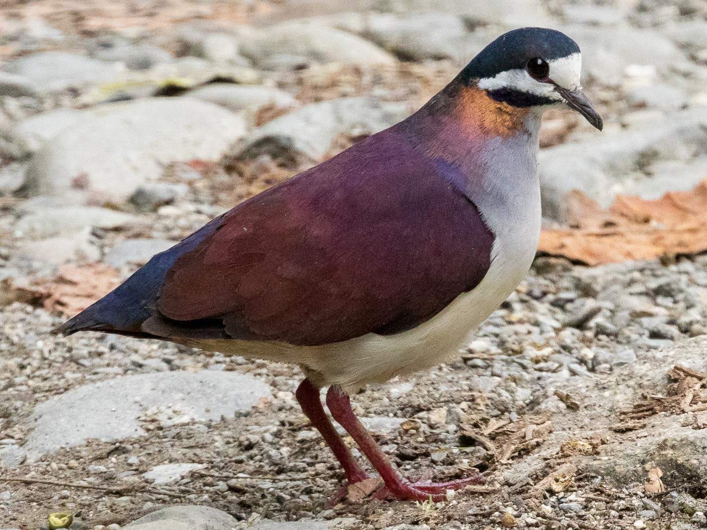 Purple Quail-Dove - Rob Felix