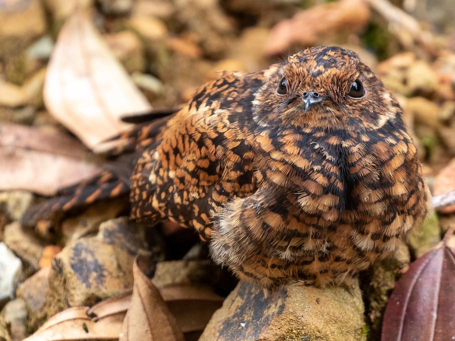 Swallow-tailed Nightjar - Rob Felix