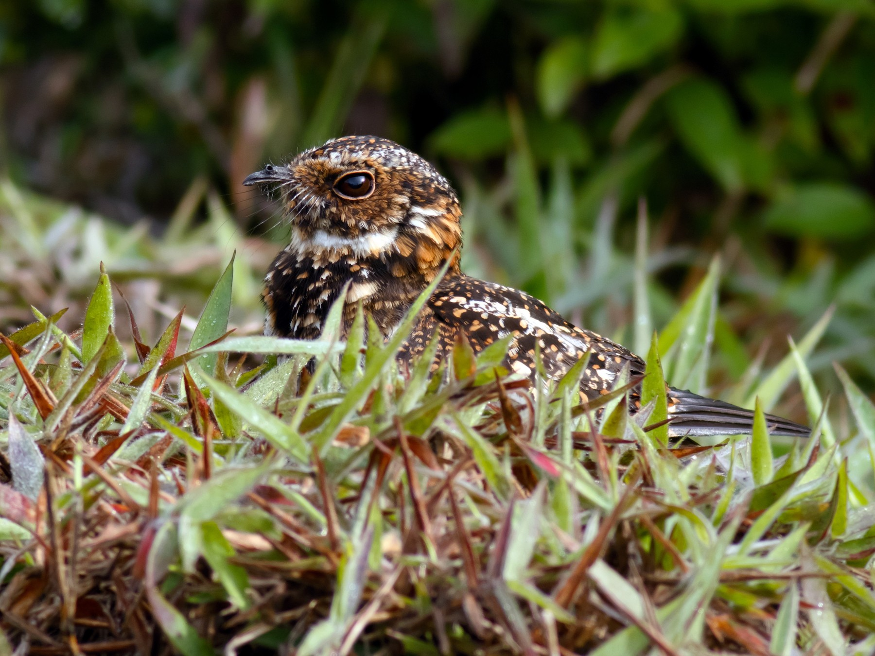 Swallow-tailed Nightjar - Daniel Orozco Montoya
