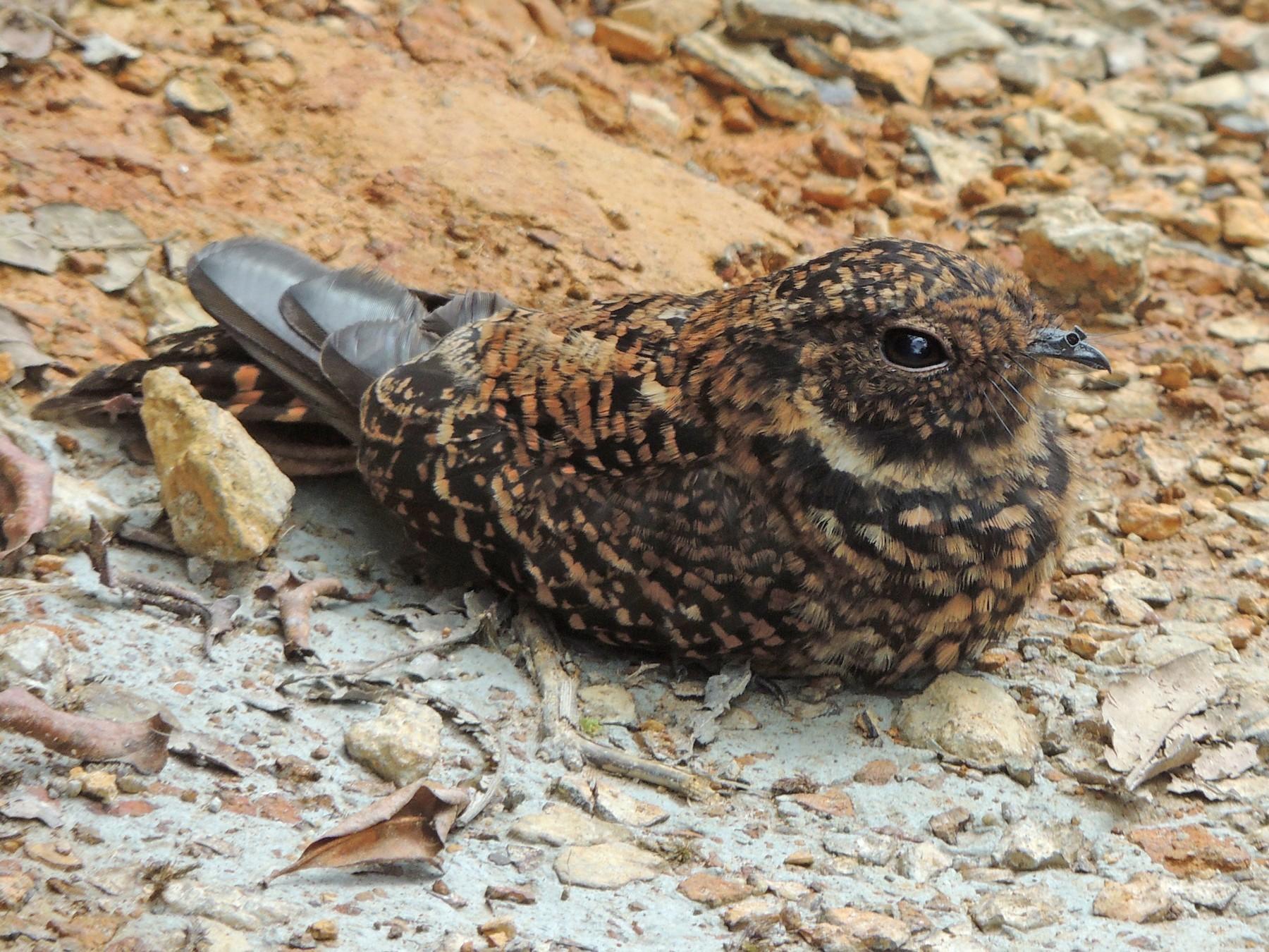 Swallow-tailed Nightjar - Edwin Munera