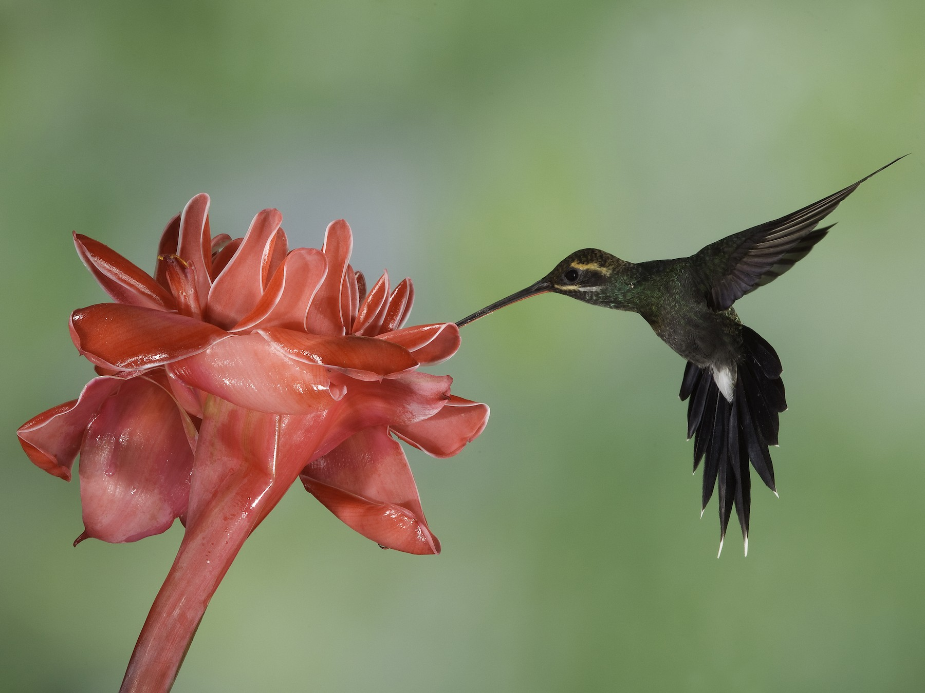 White-whiskered Hermit - Peter Hawrylyshyn