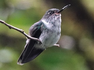 - Ecuadorian Piedtail