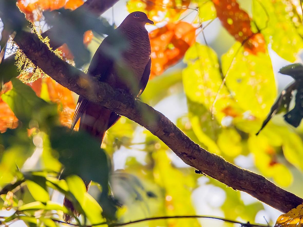 Andaman Cuckoo-Dove - Aditya Roy