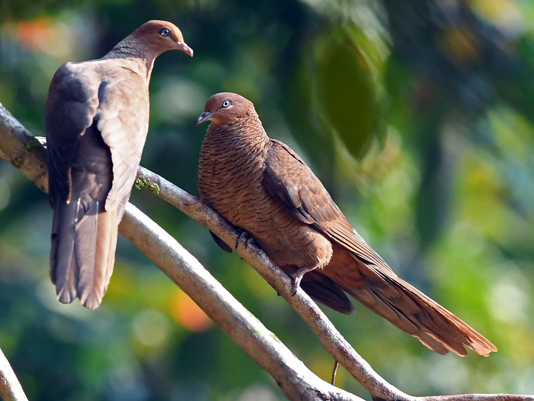 Andaman Cuckoo-Dove - Sriram Reddy