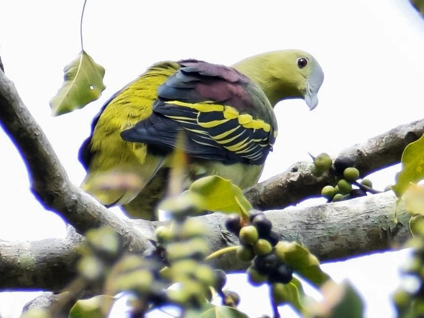 Andaman Green-Pigeon - Jonathan George