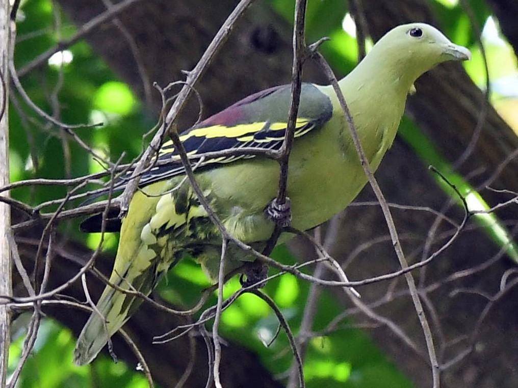 Andaman Green-Pigeon - Sriram Reddy