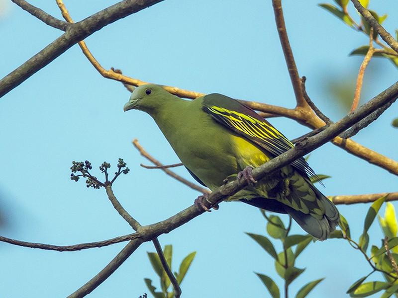 Andaman Green-Pigeon - Aditya Roy