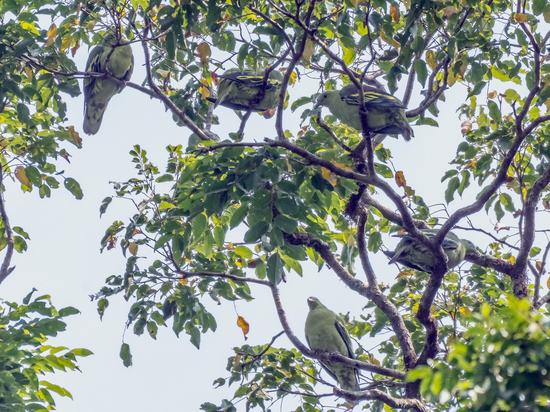 Andaman Green-Pigeon - Balaji P B