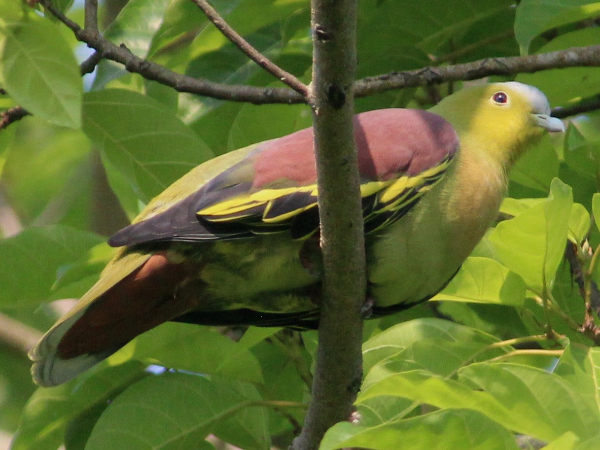 Ashy-headed Green-Pigeon - Jaydev Mandal
