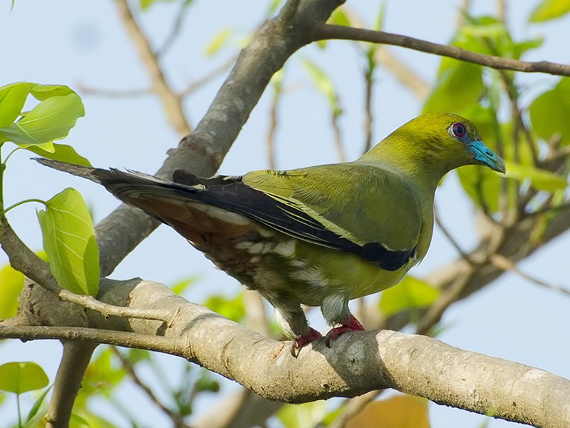 Pin-tailed Green-Pigeon - Sandip Das