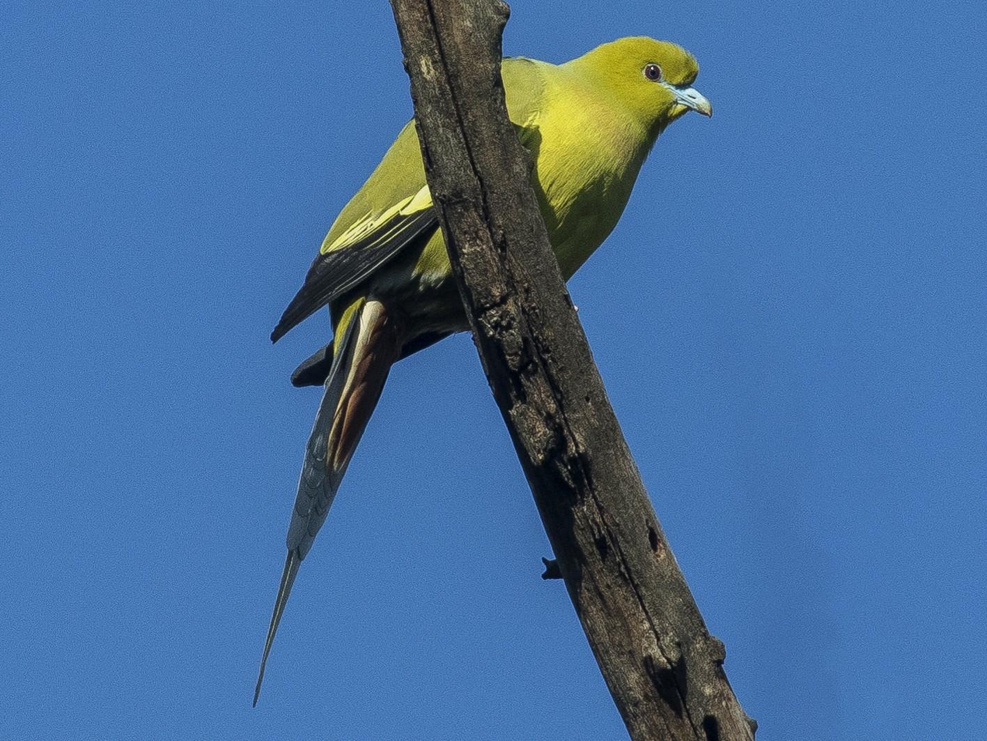 Pin-tailed Green-Pigeon - Mukesh  Sehgal