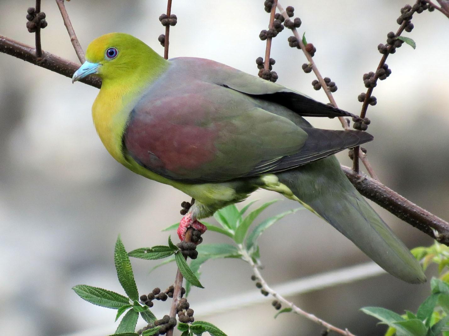 Wedge-tailed Green-Pigeon - Ritvik Singh