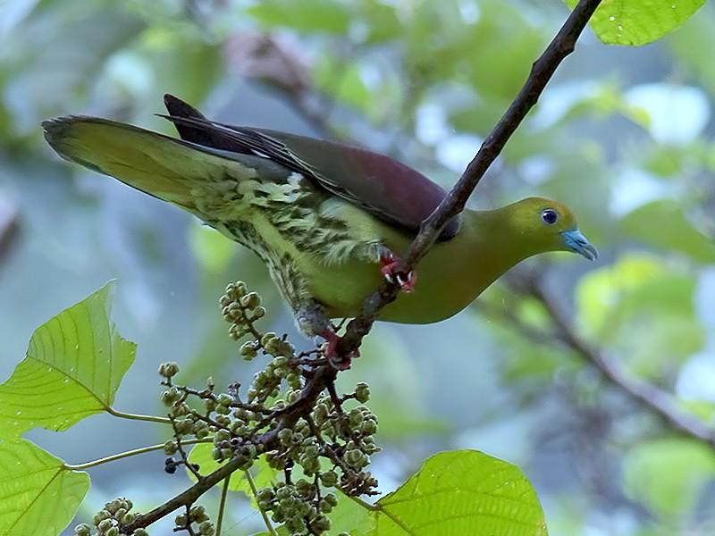 Wedge-tailed Green-Pigeon - Sandip Das