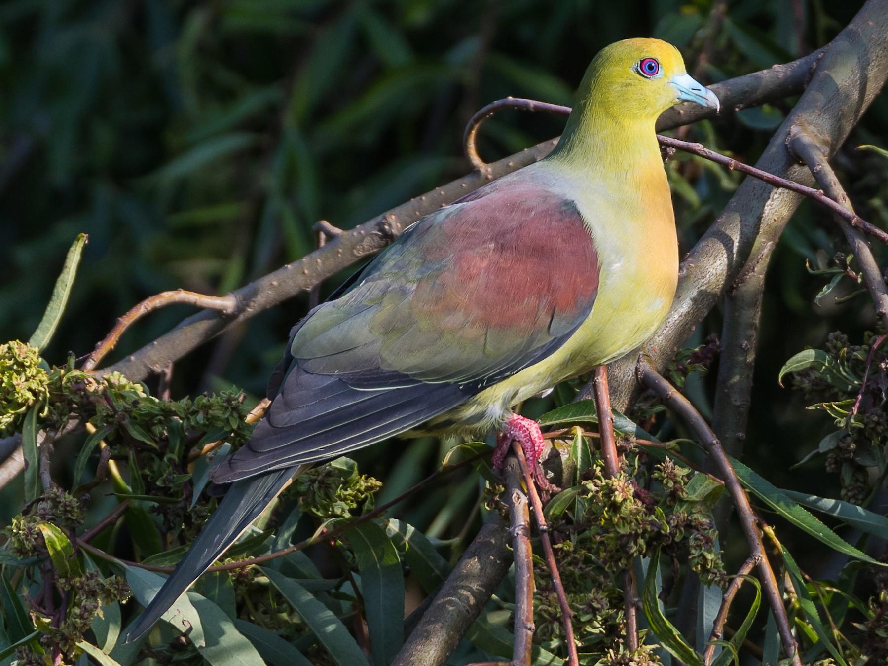 Wedge-tailed Green-Pigeon - Kehar Singh