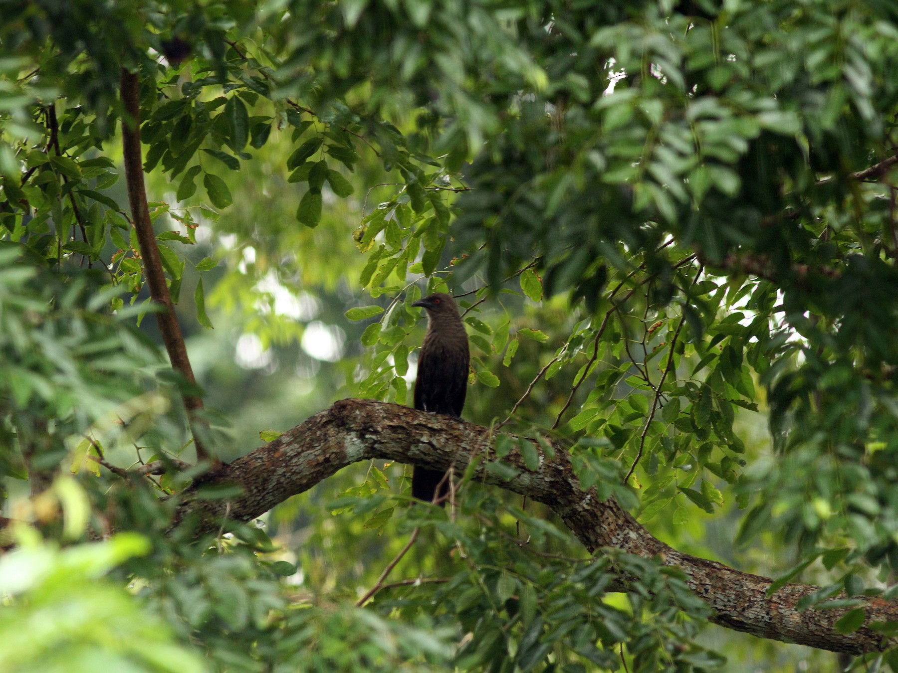 Andaman Coucal - PANKAJ GUPTA